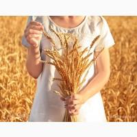 Продам посевной материал озимой пшеницы Скипетр элита Краснодарская селекция
