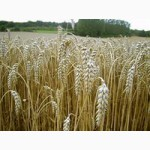 Семена озимой пшеницы Артемида (элита)