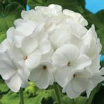 Продам семена Пеларгония зональная Бланка F1