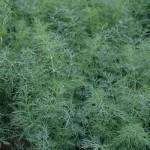Продам семена Укроп Грибовский