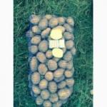 Продам картофель оптом, сорт Карера, Рэд леди, Бельмонда, Белароса, фото мои