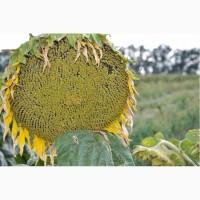 Семена подсолнечника Аракар-Лимит(евролайтинг)