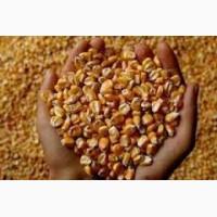 Постійно купуємо фуражну кукурудзу і зерновідходи