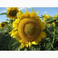 Семена подсолнечника Златсон F1