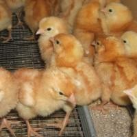 Інкубаційні яйця яєчних курей. Яйце Інкубаційне курей-несучок