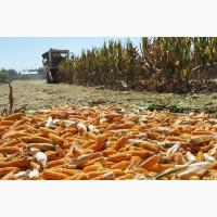 Семена кукурузы Оржиця, Любава, Солонянська, Хмельницький