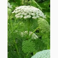 Продам семена лекарственных растений: лофант, чернокорень, Амми, иван чай, расторопша и др
