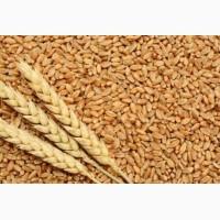 Продам пшеницу 3 класс 2018 ГОДА УРОЖАЯ