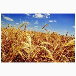 Продаем пшеницу с элеватора стекло зеркала транспортер т4