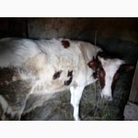 Продаются тельные телки под корову