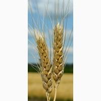 Семена озимой пшеницы Зыск, 279-283 дня, урожайность 78-110 ц/га