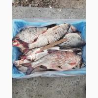 Реализуем свежевыловленную икряную рыбу