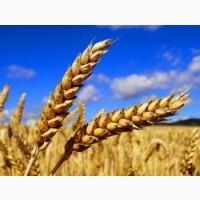 Семена озимой пшеницы Ветеран (остистая, элита)