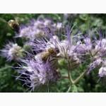 Продам семена медоносов: донник, синяк, фацелия, мордовник, клевер белый, козлятник др