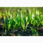 Продам семена кукурузы и подсолнечника