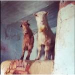 Продаём стадо коз
