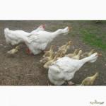 Куплю гусят от двух недель порода холмогори и тульские, в любом количестве