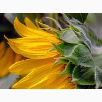 Семена гибрида подсолнечника - МЕРКУРИЙ