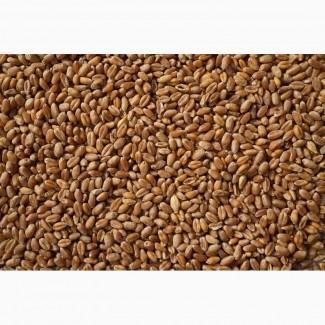 Продам Пшеница 4 класс, ГОСТ 52554-2006, по России и на экспорт