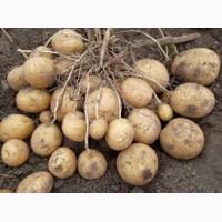 Продам семенной картофель разный сорт