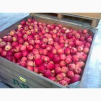 Продаємо яблуко оптом від виробника. Якість 100 %