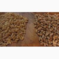 Продам кутю пшеничную