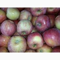 Продам яблука Фуджі Кіку 8