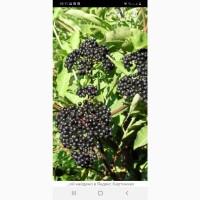 Купим оптом и от населения ягоду бузины, свежесорваную и сухую.в Донецкой обл
