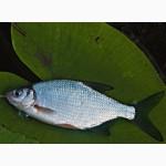 Куплю оптом без посредников свежую или свежемороженую рыбу: лещ, тарань, густеру