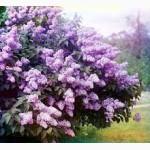 Сирень обыкновенная, цветок.Бузок звичайний, цвіт