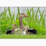 Комбикорм для гусей и уток ПК 20-2 (возраст от 8 недель и более)