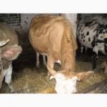 Продам корову 2 отьол