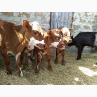 Продам телят, бычков и телочек