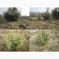 Саженцы можжевельника съедобного, Juniperus, верес обыкновенный, куст, дерево под заказ