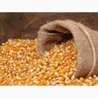 Агро-компанія закупляє кукурудзу