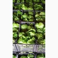Продам салат айсберг, отличное качество и цена