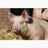 Продам свинок -14 робочих сосків