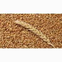 Закупаю пшеницу, постоянно, дорого