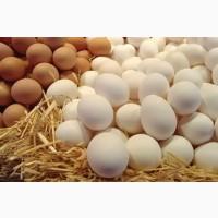 Яйцо куриное ( столовое ), Меланж яичный