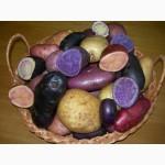 Продам картоплю кольорову при розрізі м якоть фіолетова