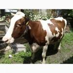 Продам терміново гарну корову