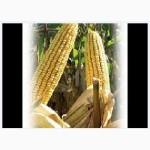 Гибрид кукурузы ЕС СЕНСОР