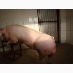 Продам робочого кнура (хряка) мясної породи МАКСТЕР (Мастер)