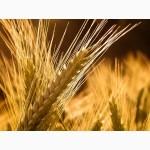 Купим пшеницу по всем областям