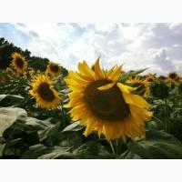 Насіння соняшнику Український F1 (105 – 108 дн)