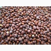 Закупаем редьку масличную (редька маслична) на сидерат