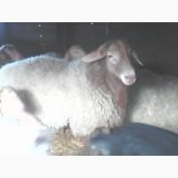 Продам самца курдючной породы овец ЭДЕЛЬБАЕВСКАЯ