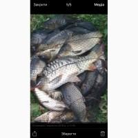 Продам живую рыбу карп короп