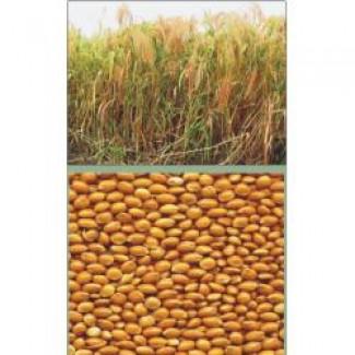 Семена желтого посевного проса сорта «Харьковское-31»