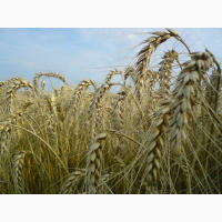 Семена озимой пшеницы Подолянка, урожайность 75, 2-113 ц/га
